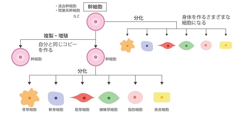 ヒト骨髄幹細胞治療|麗ビューティー皮フ科クリニック【滋賀 ...